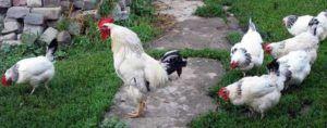 Адлерская серебристая порода кур 2