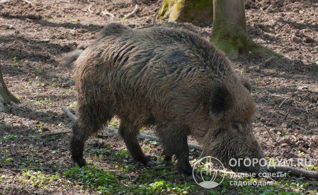 Африканская чума свиней опасна для человека симптомы 1