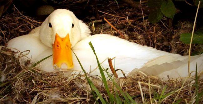 Гуси - выгодная птица 1