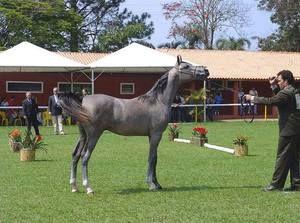 Верховая лошадь арабской породы описание, содержание и уход 10