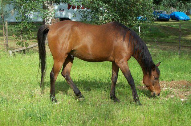 Верховая лошадь арабской породы описание, содержание и уход 3