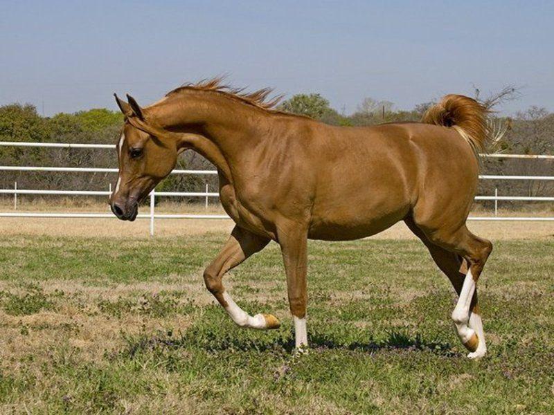 Верховая лошадь арабской породы описание, содержание и уход 7