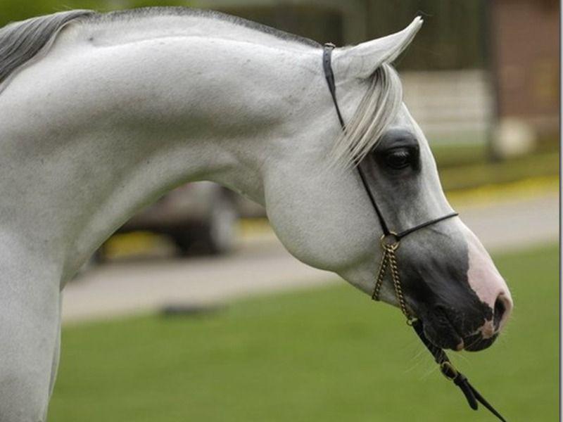 Верховая лошадь арабской породы описание, содержание и уход 9