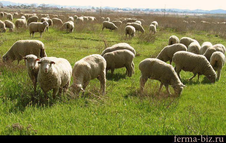 Лучшие породы овец с фото и описанием