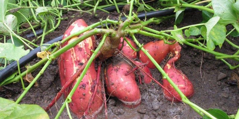 Что такое батат сладкий картофель и с чем его едят 13