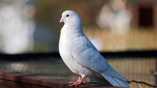 Симптоматика орнитоза у голубей и его лечение