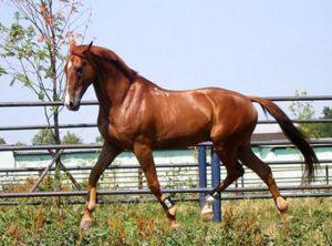 Буденновская порода лошадей особенности и характеристика