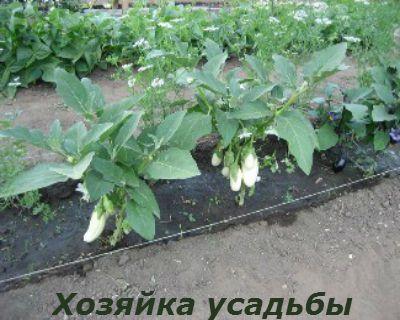 Как вырастить хороший урожай баклажанов 1