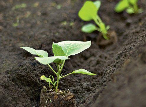 Как вырастить хороший урожай баклажанов 2