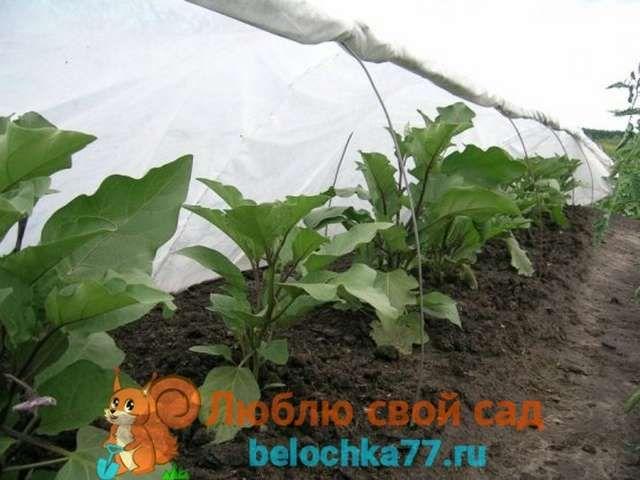 Как вырастить хороший урожай баклажанов 3