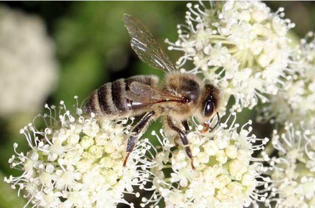 Дягилевый мед, полезные свойства и противопоказания, применение. Всё про редкий мёд из дягиля 2