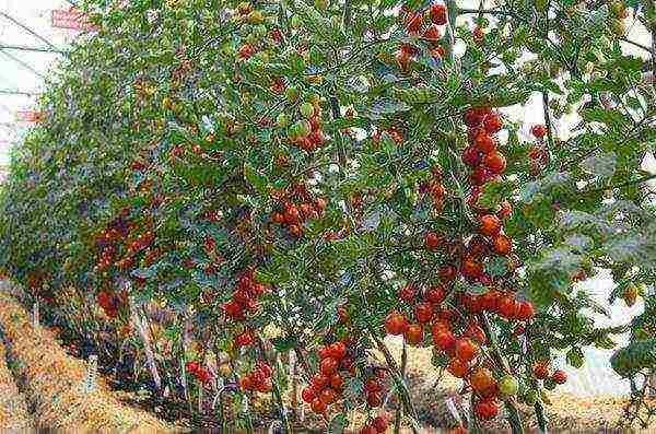 Лучшие индетерминантные сорта помидор 2
