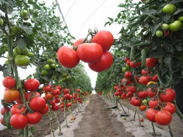 Лучшие индетерминантные сорта помидор 6