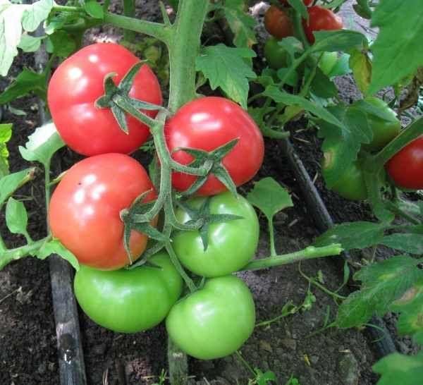 Лучшие индетерминантные сорта помидор 13