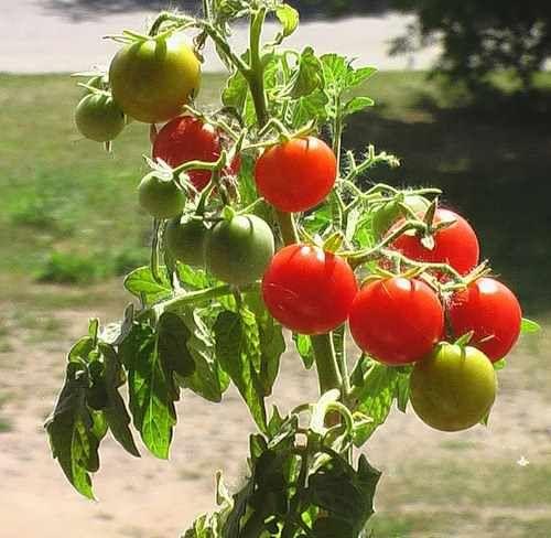 Лучшие индетерминантные сорта помидор 9