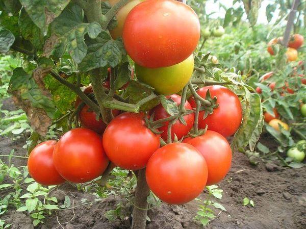 Лучшие индетерминантные сорта помидор 3