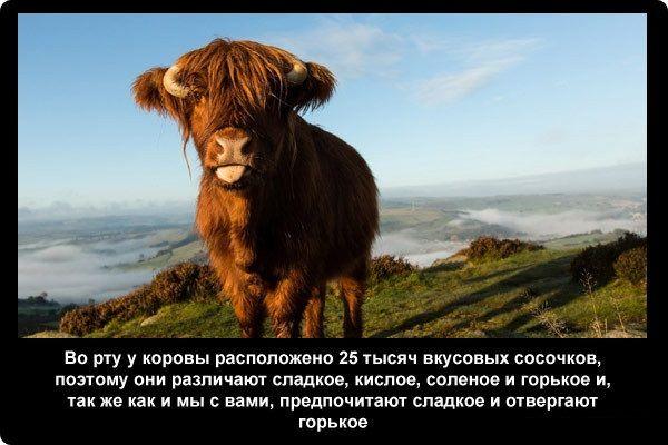 Сколько живут коровы в домашних условиях и на ферме 1