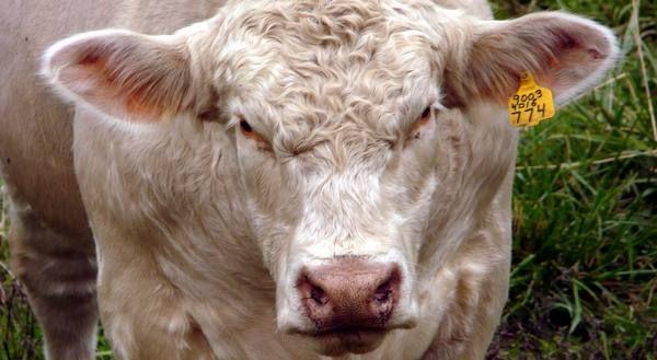 Сколько живут коровы в домашних условиях и на ферме 6