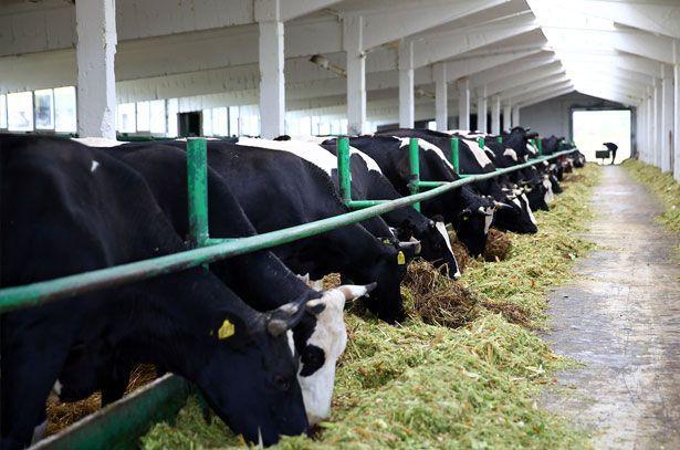 Сколько живут коровы в домашних условиях и на ферме 3