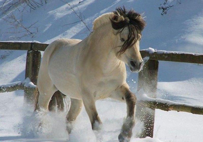 Изабелловая масть лошади фото, описание, характеристики