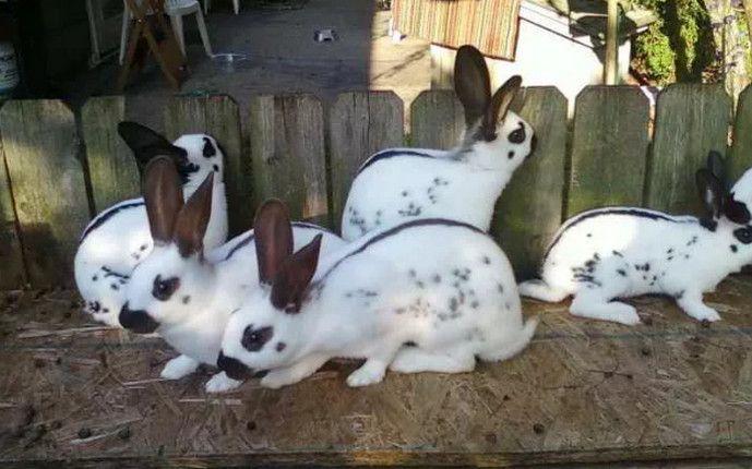 Как правильно забить и разделать кролика в домашних условиях 7