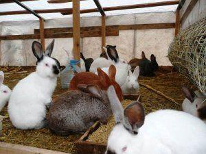 Выращивание кроликов в домашних условиях 3