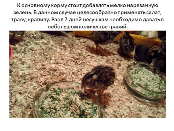 Кормление перепелок несушек в домашних условиях виды кормов, полезные и вредные продукты 3