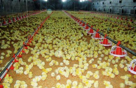 Как выращивать цыплят бройлеров 1