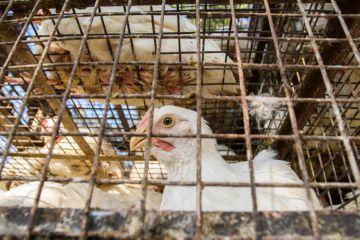 Как выращивать цыплят бройлеров 12