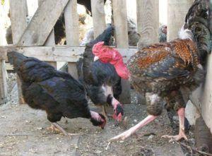Индокуры характеристика и основы разведения кур с голой шеей 17