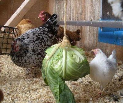 Чем кормить кур несушек в домашних условиях 11