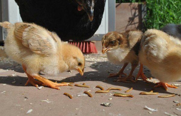 Чем кормить кур несушек в домашних условиях 12