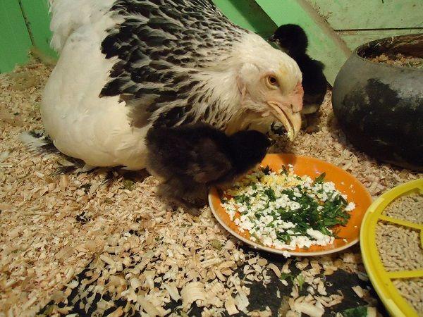 Чем кормить кур несушек в домашних условиях 18