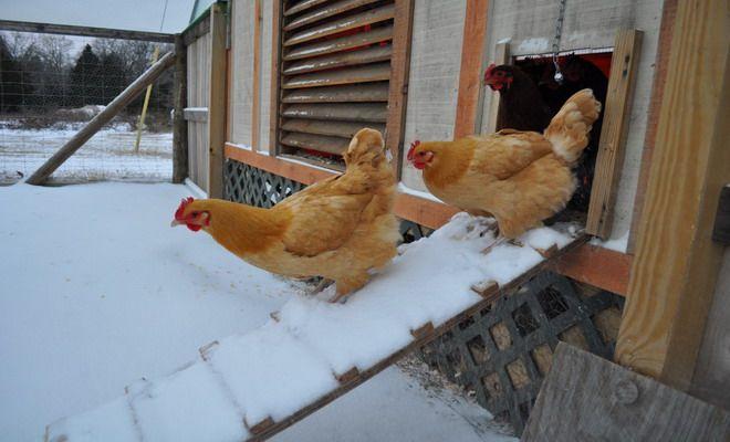 Чем кормить кур несушек в домашних условиях 20