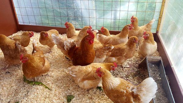 Чем кормить кур несушек в домашних условиях 8