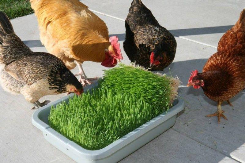 Чем кормить кур несушек в домашних условиях 9