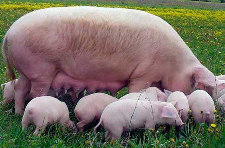 Ландрас порода свиней характеристика и порядок содержания 15