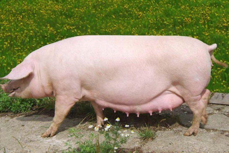 Ландрас порода свиней характеристика и порядок содержания 18
