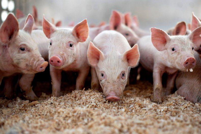 Ландрас порода свиней характеристика и порядок содержания 19