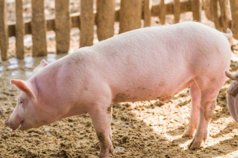 Ландрас порода свиней характеристика и порядок содержания 25