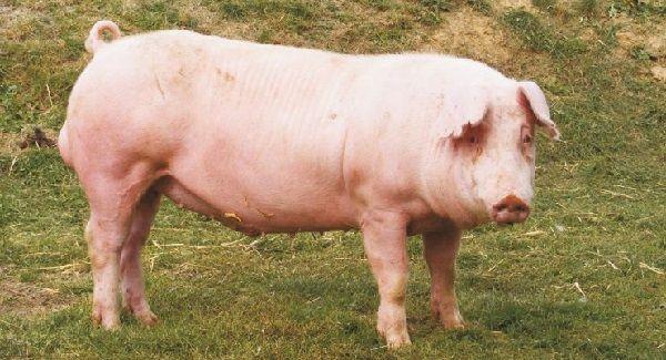 Ландрас порода свиней характеристика и порядок содержания 26