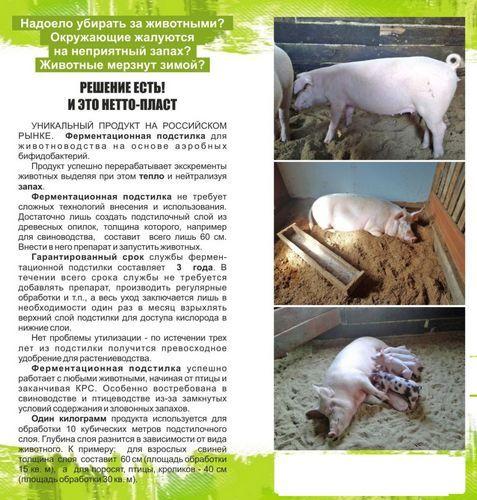 Ландрас порода свиней характеристика и порядок содержания 3