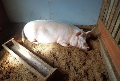 Ландрас порода свиней характеристика и порядок содержания 5