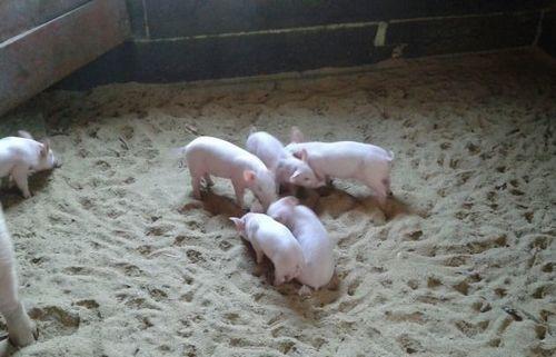 Ландрас порода свиней характеристика и порядок содержания 6