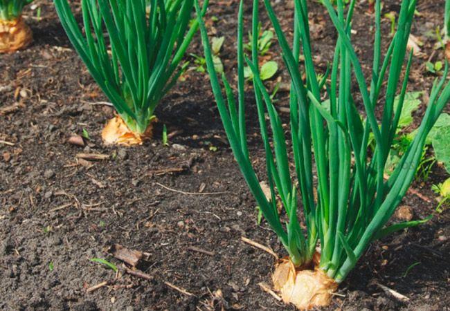 Лук шалот, выращивание и уход 4
