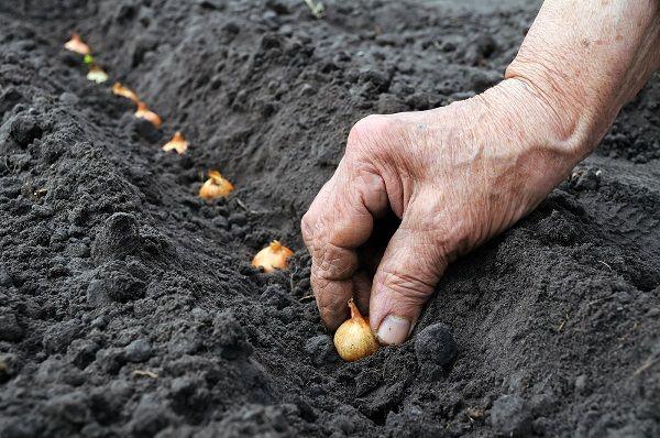 Лук шалот, выращивание и уход 5