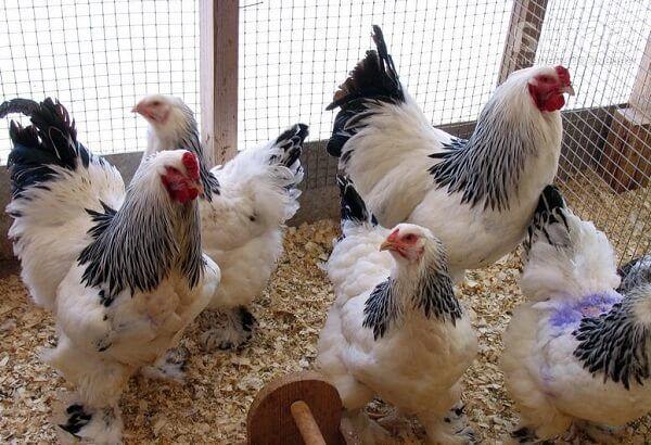Лучшие породы кур особенности мясного и яичного направления 12