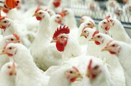 Лучшие породы кур особенности мясного и яичного направления 13