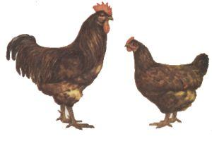 Лучшие породы кур особенности мясного и яичного направления 19