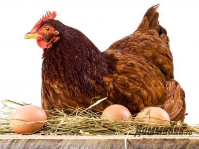 Лучшие породы кур особенности мясного и яичного направления 1